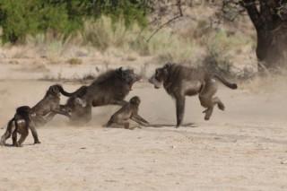 개코원숭이는 자신의 새끼가 아니면 살해하는 습성이 있다. 개코원숭이 수컷이 새끼를 지키기 위해 외부에서 온 개코원숭이 수컷과 싸우고 있다. - Elise Huchard 제공